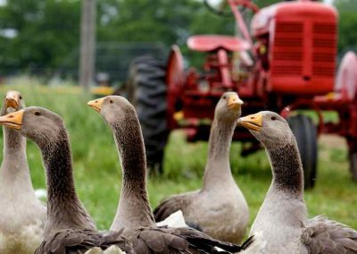 tractor_geese_square